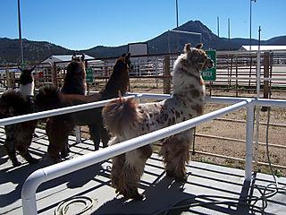 Llama spotted