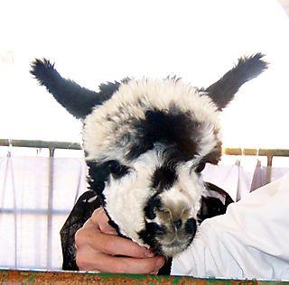 Black and white alpaca