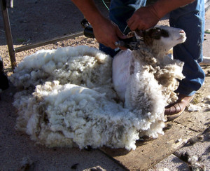 Shearing_carmela
