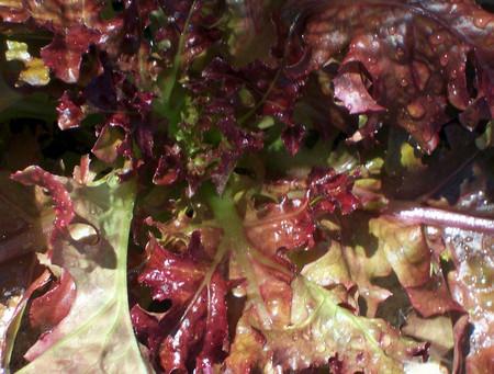 Red_leaf_lettuce