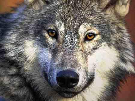 Wolfdesktop_800x600