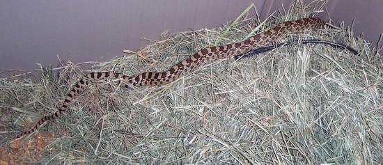 Shed_snake