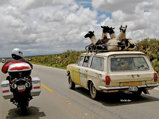 Llamas_on_station_wagon