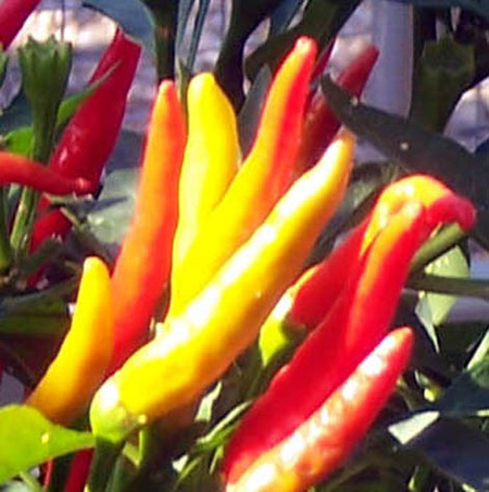 Thai_peppers_closeup