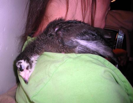 Zorro_sleeping