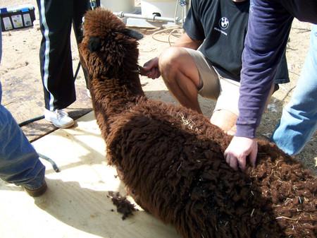 Shearing_tumalo