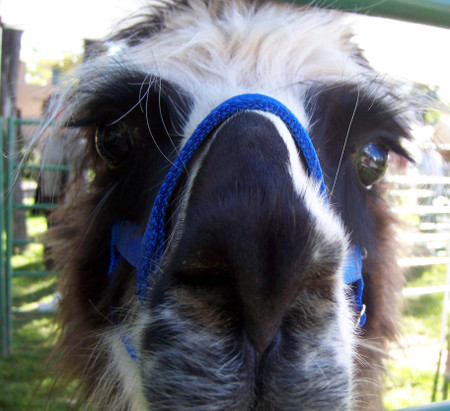 Llama_close_up
