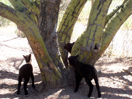 Lambs_and_tree