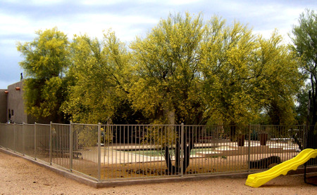 Palo_verde_tree