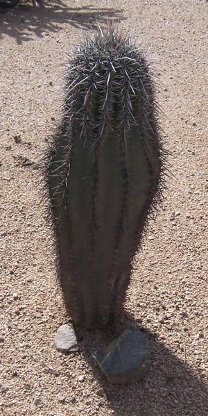 Baby_saguaro