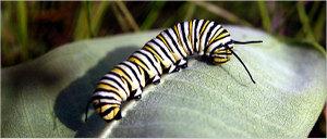 Caterpillar_1_600