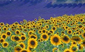 D1_lavender_sunflowers