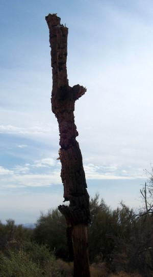 Dying_saguaro
