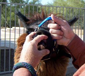 Luckys_teeth
