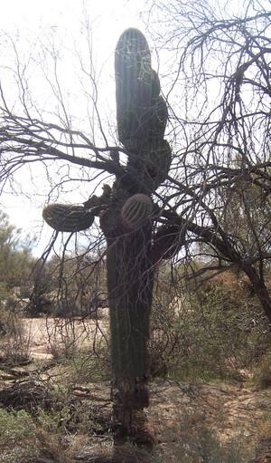 Saguaro9_1