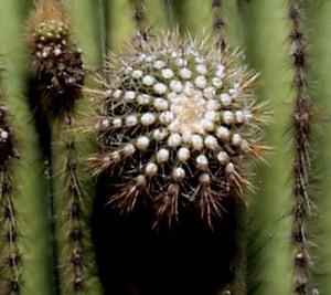 Saguaro_bud