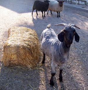 Shornbill_and_sheep